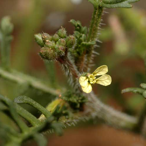 Ward's weed, photo courtesy of M. Fagg, AUS Nat. Botanic Gardens