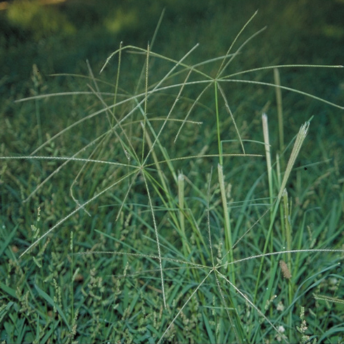 Truncate finger grass, photo courtesy Dean Kelch, CDFA