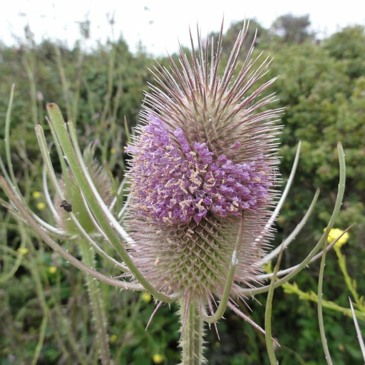 Teasel, photo courtesy Eric Wrubel